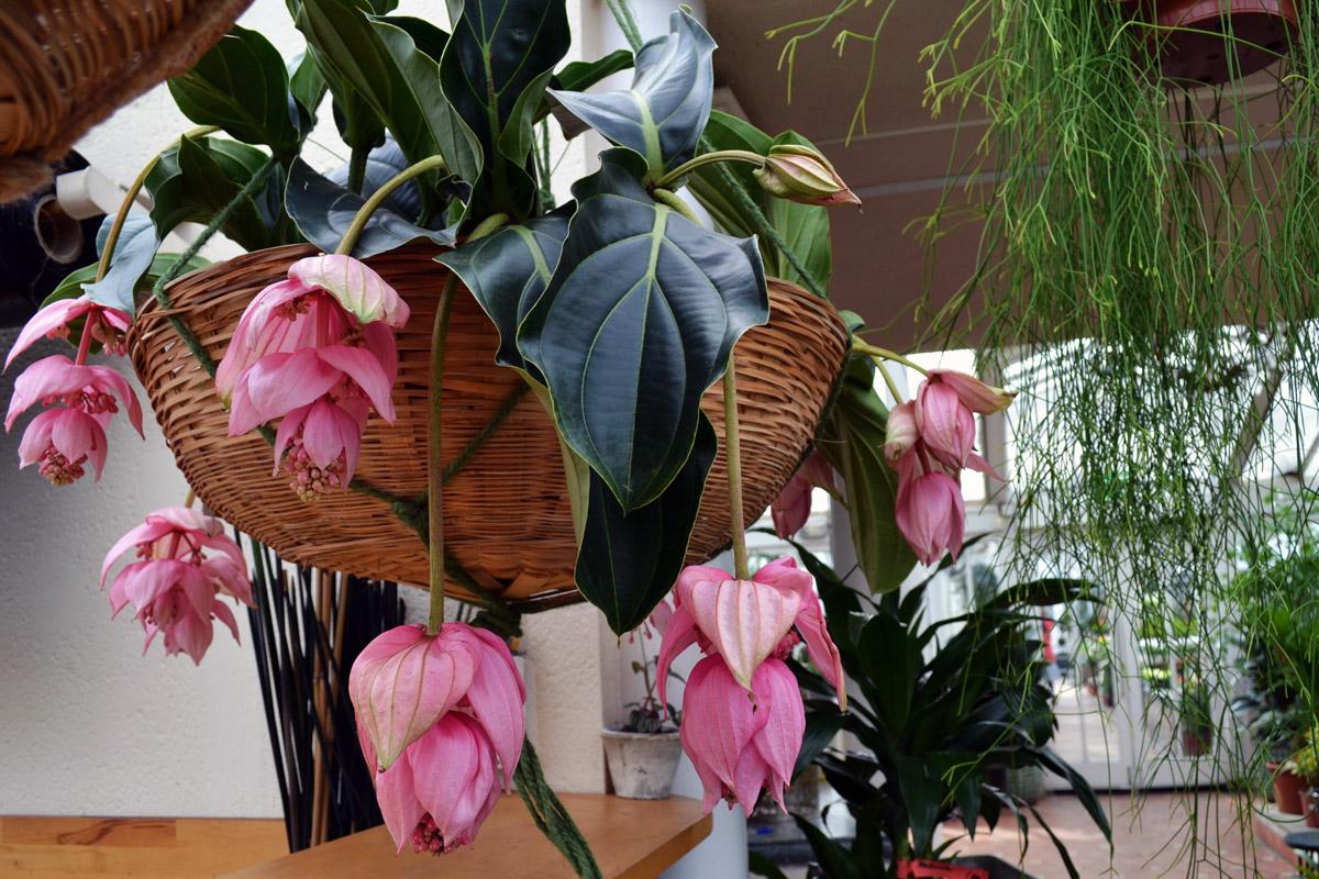 Clifton Nurseries Plant Care Guides: Medinilla magnifica