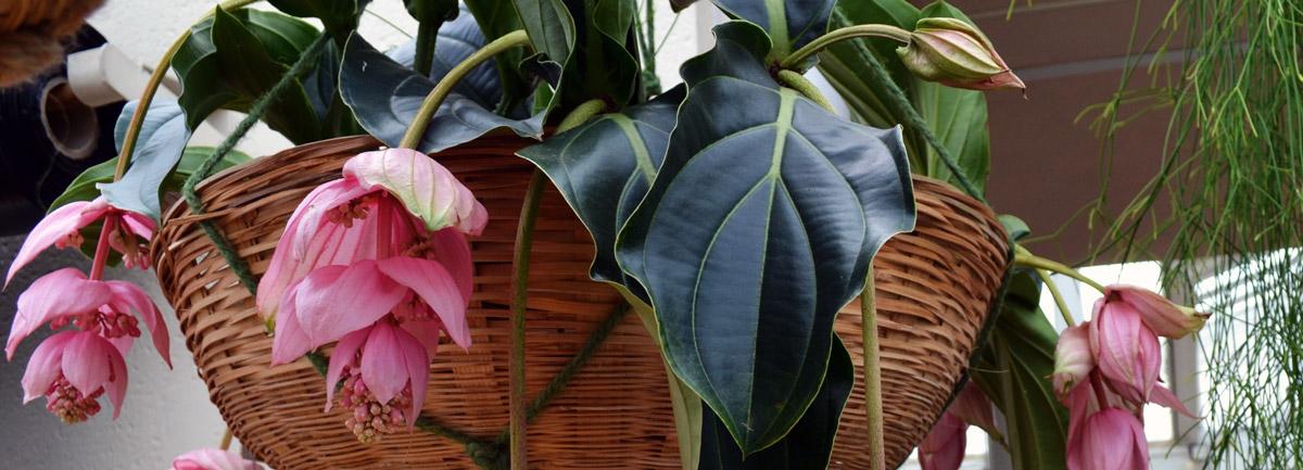 Clifton Nurseries Plant Care Guides Medinilla magnifica