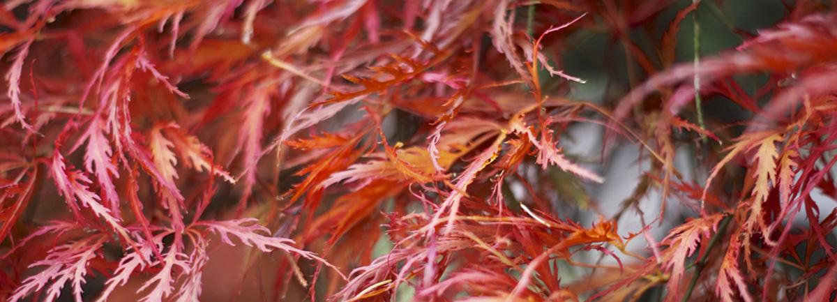 Autumn colour at Clifton Nurseries