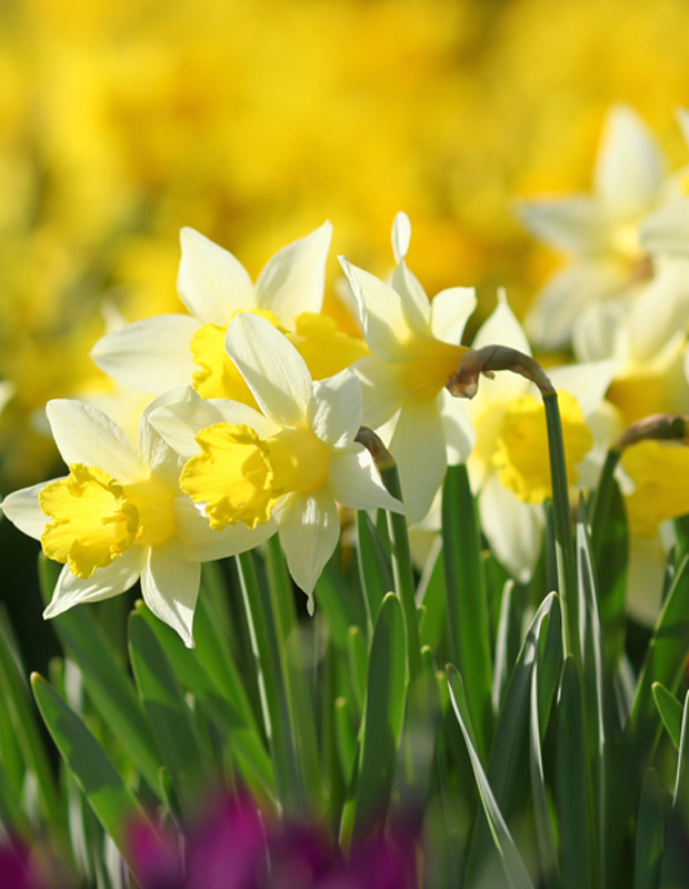 Signs of Spring - Daffodils