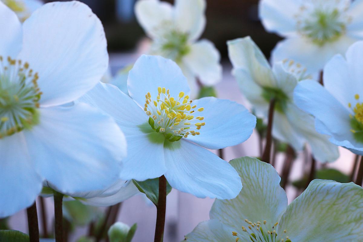Helleborus Verboom® Beauty from Clifton Nurseries
