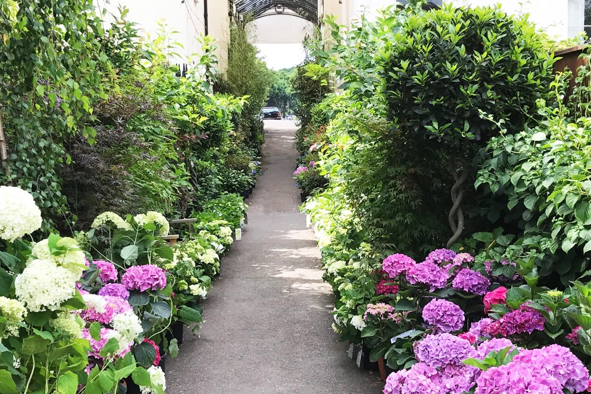 Hydrangeas at Clifton Nurseries London