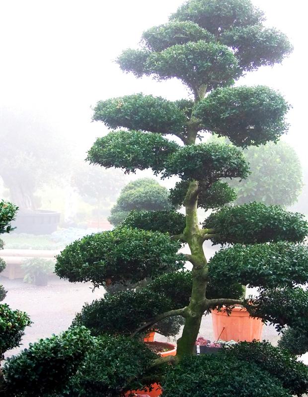 Topiary - Ilex crenata