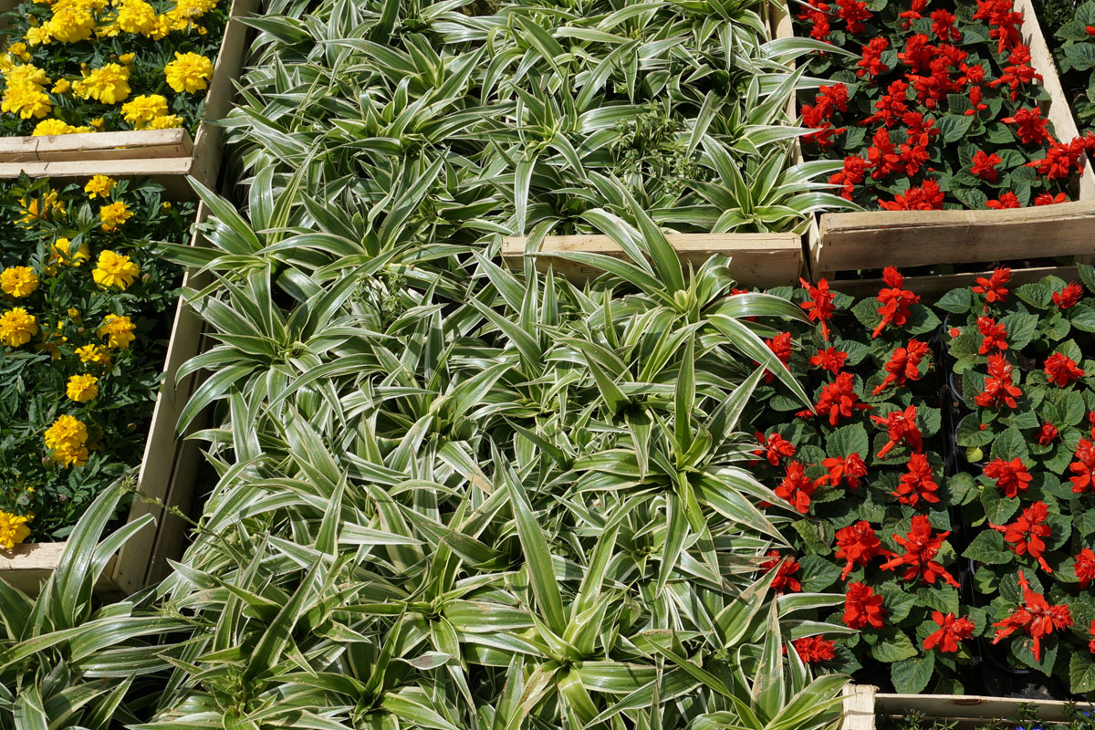Clifton Nurseries plants for the Beatles