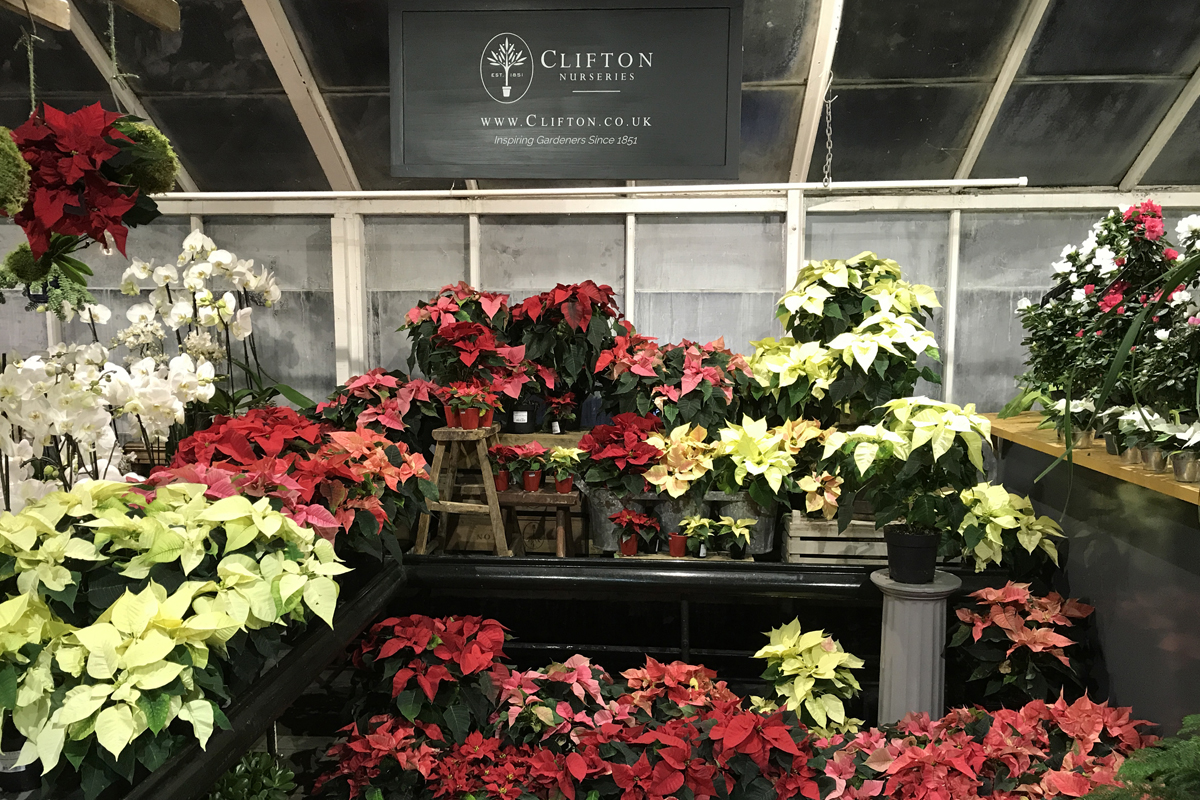 Perfect Poinsettia from Clifton Nurseries