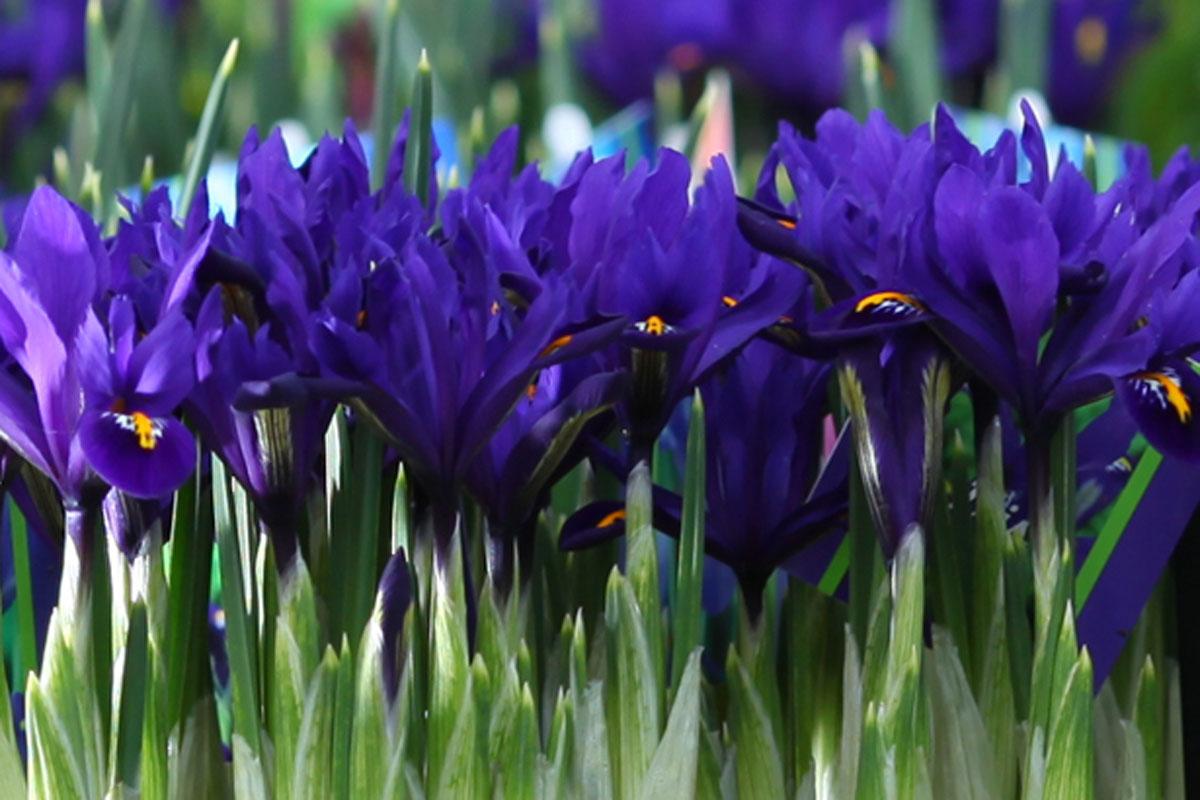 Garden bulbs for Spring colour