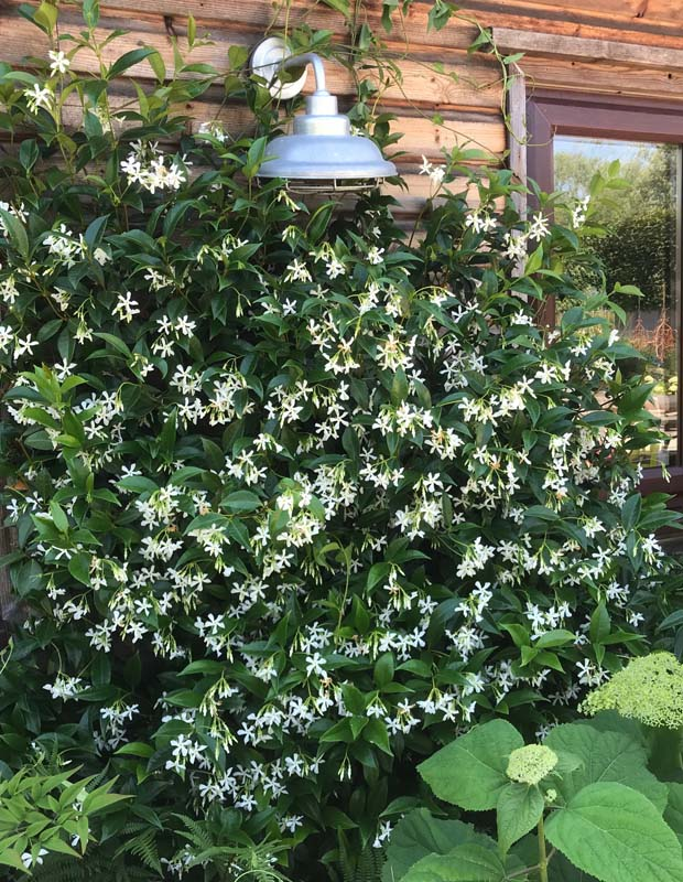 Summer Jasmine - with its beautiful scent
