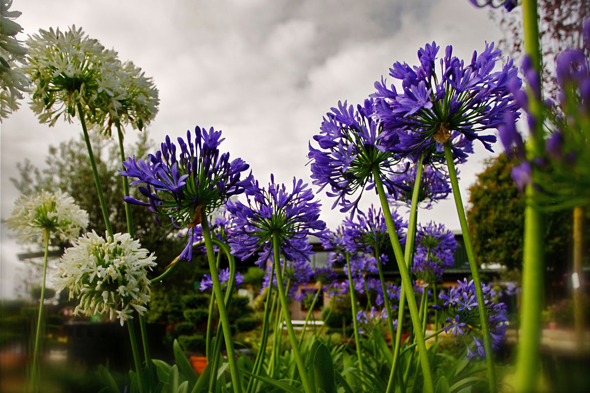 Agapanthus the flower of love clifton nurseries agapanthus are splendid for combining with other summer flowering perennials izmirmasajfo
