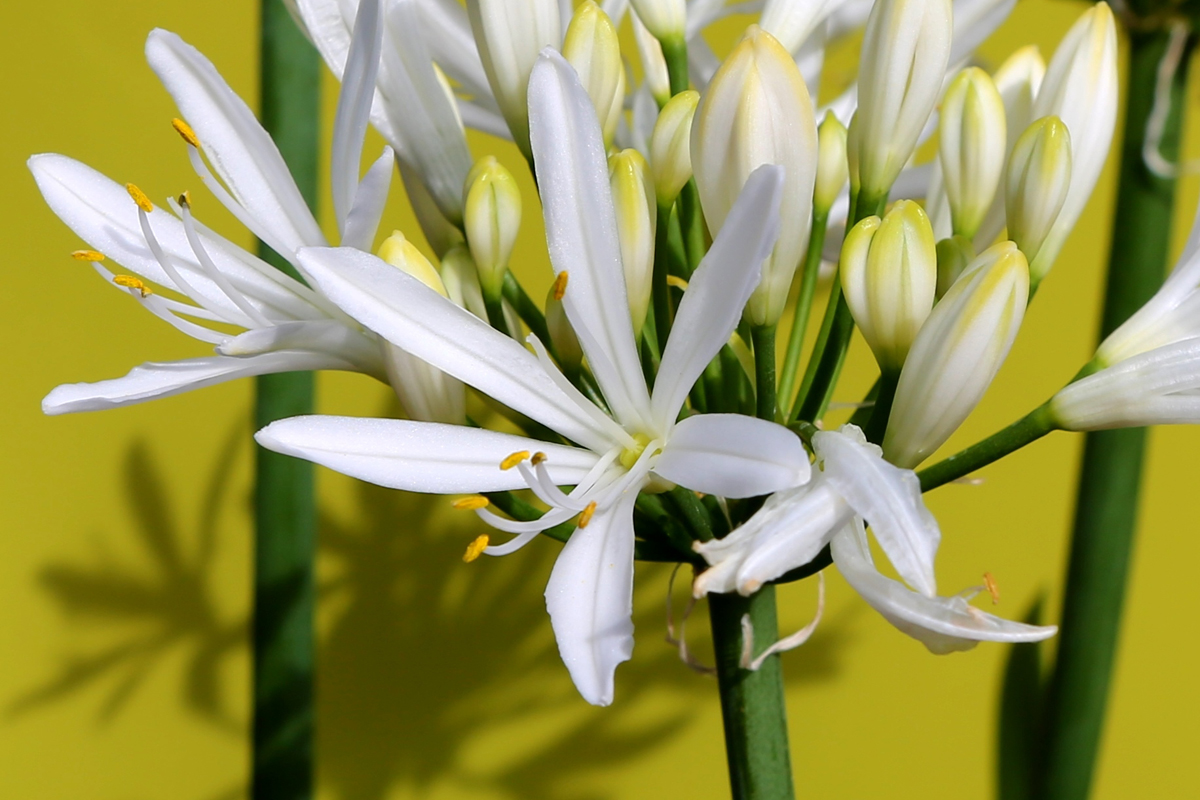 Agapanthus the flower of love clifton nurseries the stunning clear white flowers of agapanthus whitney dhlflorist Images