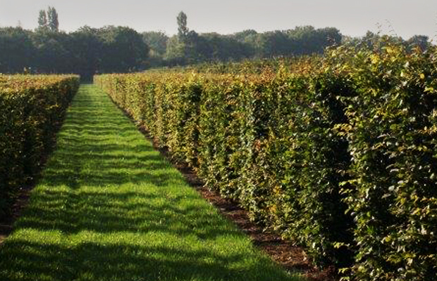 Hedges are the ideal solution to screening and creating windbreaks
