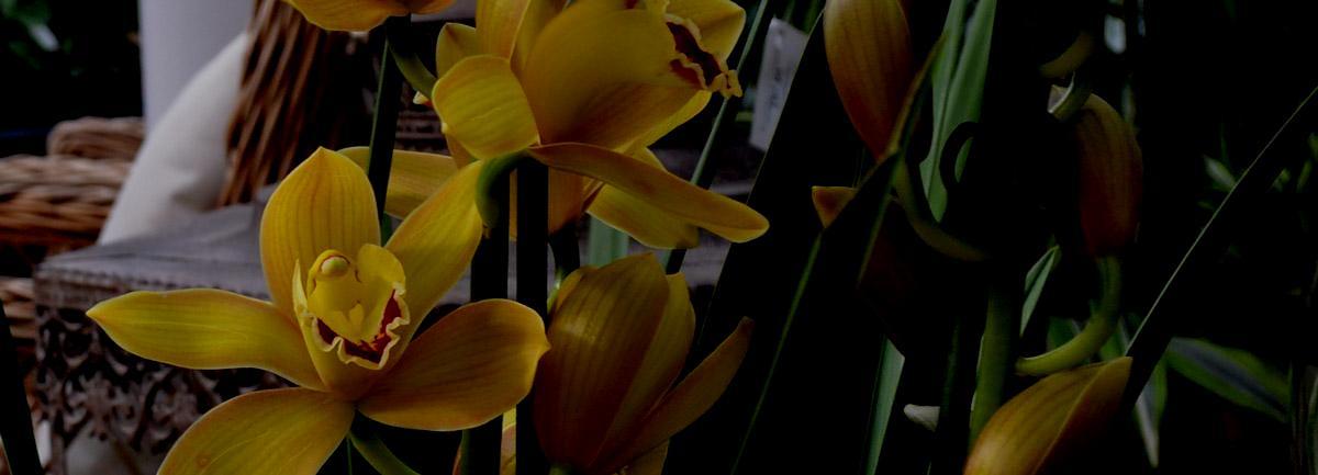 Clifton Nurseries Plant Care Guides: Cymbidium Orchids
