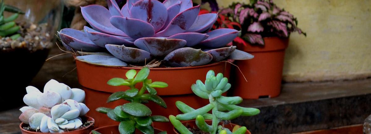 Clifton Nurseries Plant Care Guides: Succulents