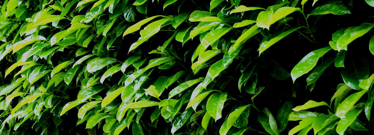Clifton Nurseries Hedging Blog -  Banner