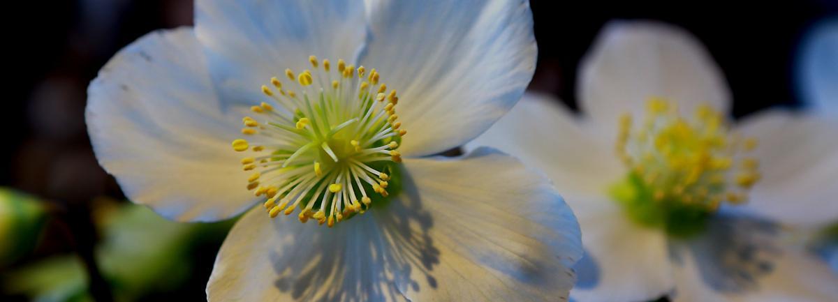 Helleborus Verboom Beauty from Clifton Nurseries