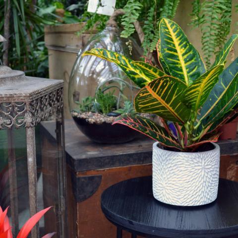 Clifton Nurseries Plant Care Guides Croton
