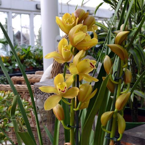 Clifton Nurseries Plant Care Guides Cymbidium Orchids
