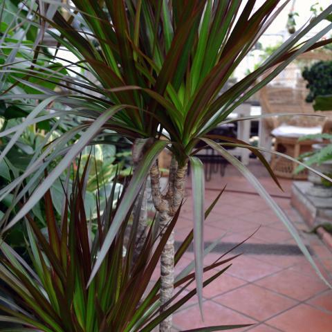 Clifton Nurseries Plant Care Guides Draccena Marginata Fragrans