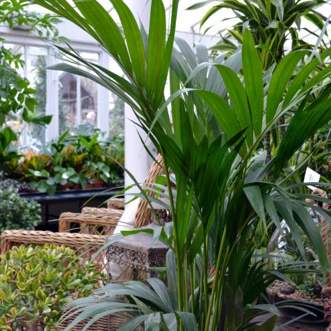 Clifton Nurseries Plant Care Guides Kentia Howea Forsteriana