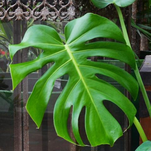 Clifton Nurseries Plant Care Guides Monstera Deliciosa