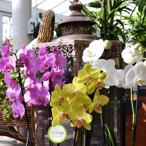 Clifton Nurseries Plant Care Guides - Phalaenopsis Orchids
