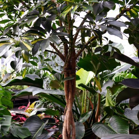 Clifton Nurseries Plant Care Guides - Schefflera