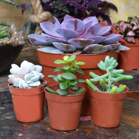 Clifton Nurseries Plant Care Guides: Succulents