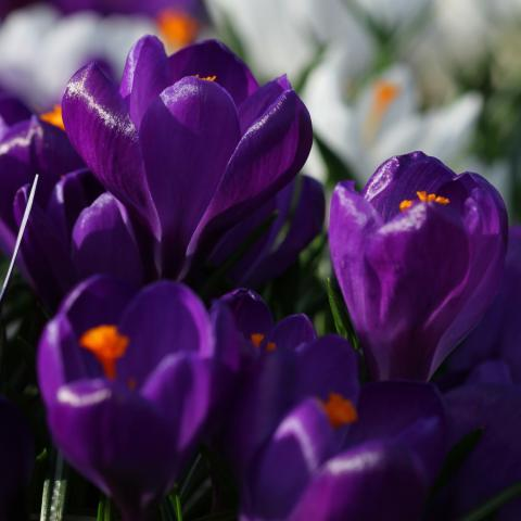 Clifton Nurseries - Bulb Planting for The Telegraph