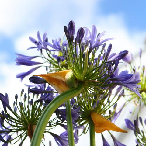 Clifton Nurseries Agapanthus -Thumbnail