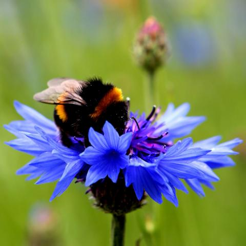 Clifton Nurseries Bee Friendly to your Bumblebees