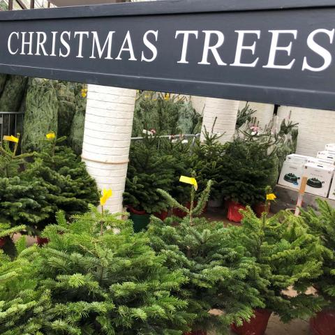 Clifton Nurseries Christmas trees now in
