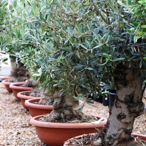 Clifton Nurseries Olive Trees