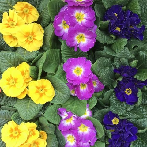 Clifton Nurseries - Primroses