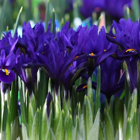 Spring bulbs from Clifton Nurseries
