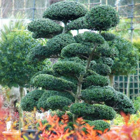 Clifton Nurseries Topiary Blog