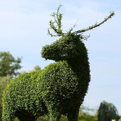 Clifton Nurseries Blog Topiary Deer