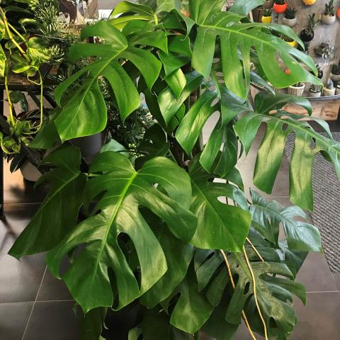 Clifton Nurseries Specimen Houseplants