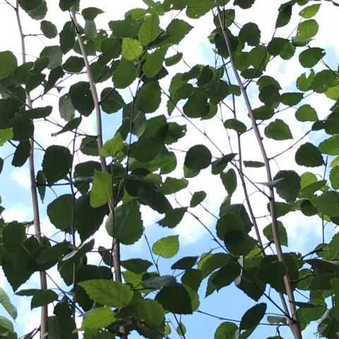 Silver birch at Hampton Court Flower Show