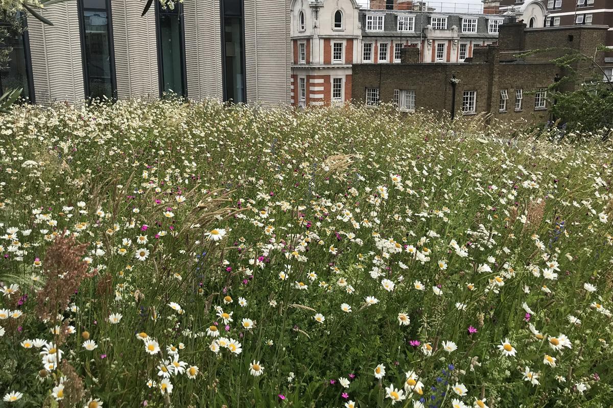 Clifton Nurseries Roof Top Terrace Wildflowers