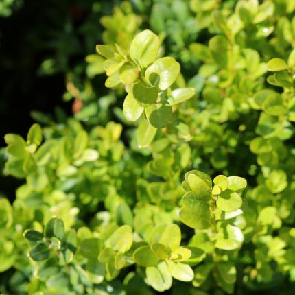 Buxus sempervirens - Foliage