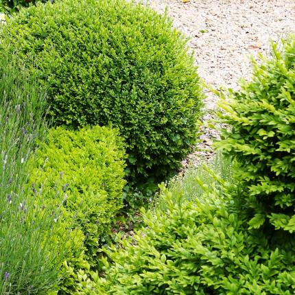 Clifton Nurseries Buxus sempervirens