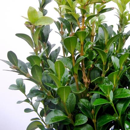 Clifton Nurseries - Buxus sempervirens
