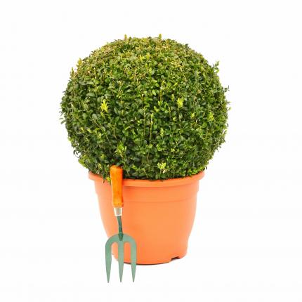 Clifton Nurseries - Buxus Sempervirens Ball 40/45cm