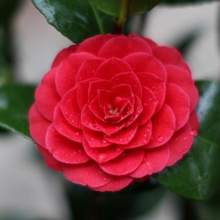 Clifton Nurseries Camellia japonica Black Lace flower