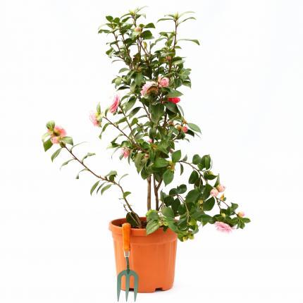 Clifton Nurseries Camellia japonica Bonomiana bush