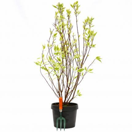 Clifton Nurseries Cornus alba Elegantissima 10L