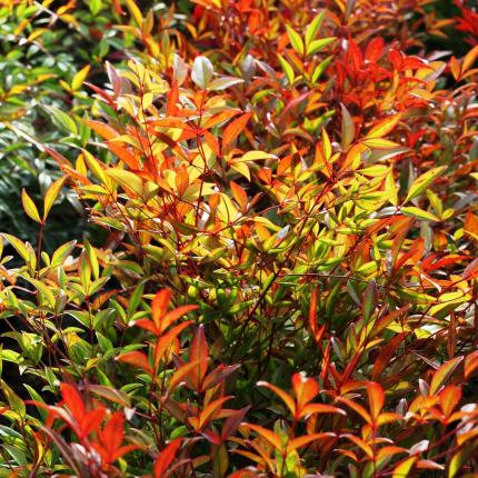 Clifton Nurseries Nandina domestica