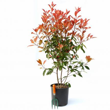 Clifton Nurseries Photinia x fraseri Red Robin hedging