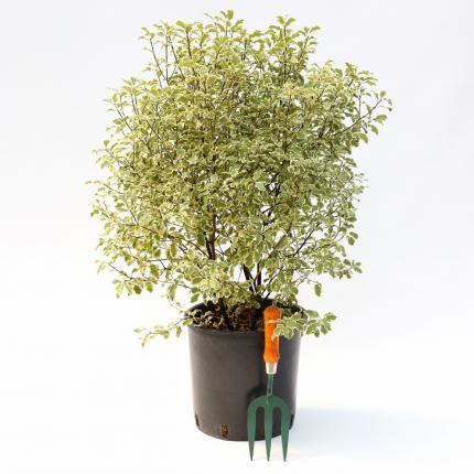Clifton Nurseries Pittosporum tenuifolium Silver Queen