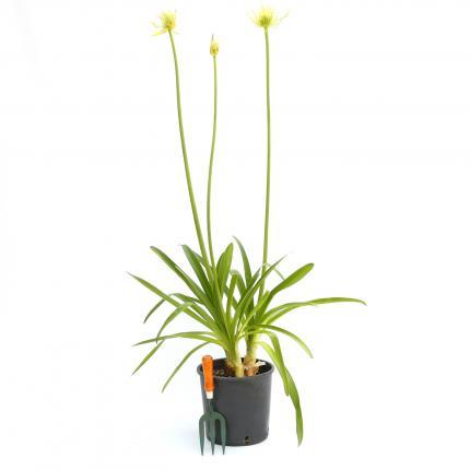 Clifton Nurseries - Agapanthus africanus albus 10L