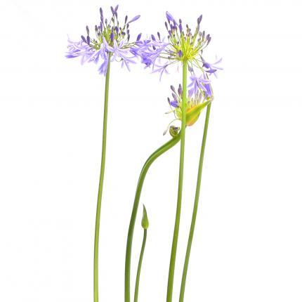 Clifton Nurseries Agapanthus africanus blue - flower stems